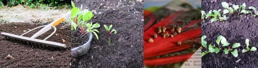 Посев мангольда в открытый грунт