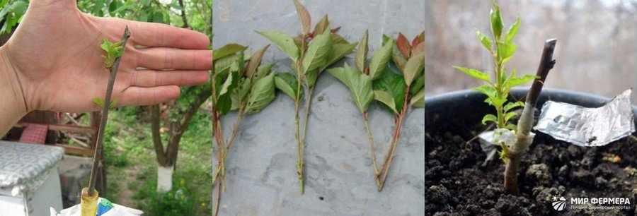 Выращивание сливы из черенка