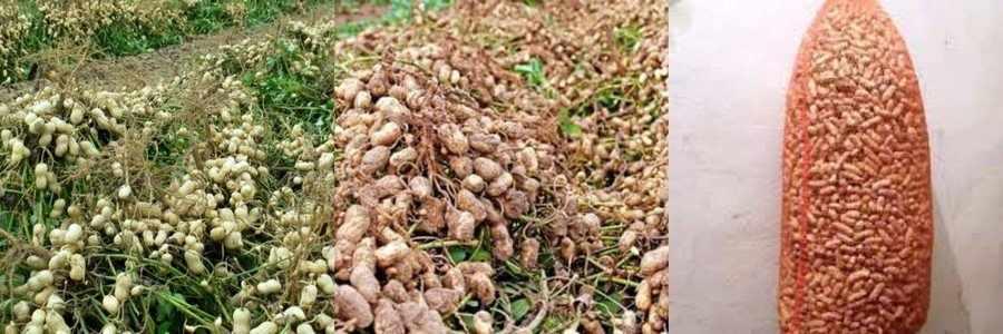 Сбор и хранение арахиса