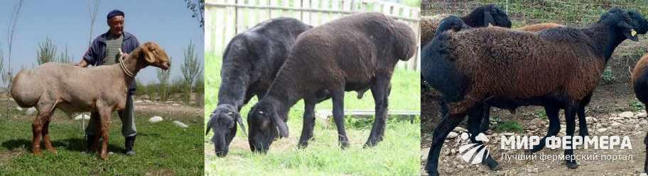 Как выглядят гиссарские овцы