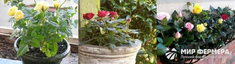 Как ухаживать за розой мини микс