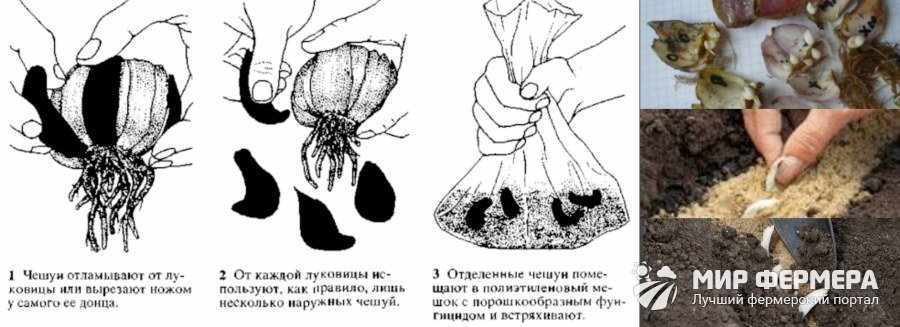 Размножение лилий чешуйками
