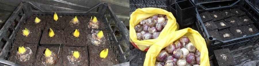 Хранение луковиц нарциссов в погребе