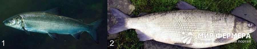 Какую рыбу лучше разводить
