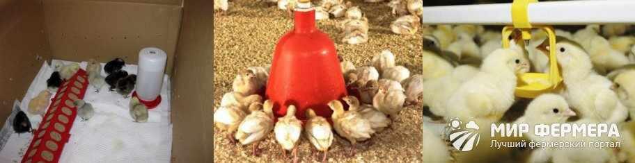 Чиктоник для цыплят как применять