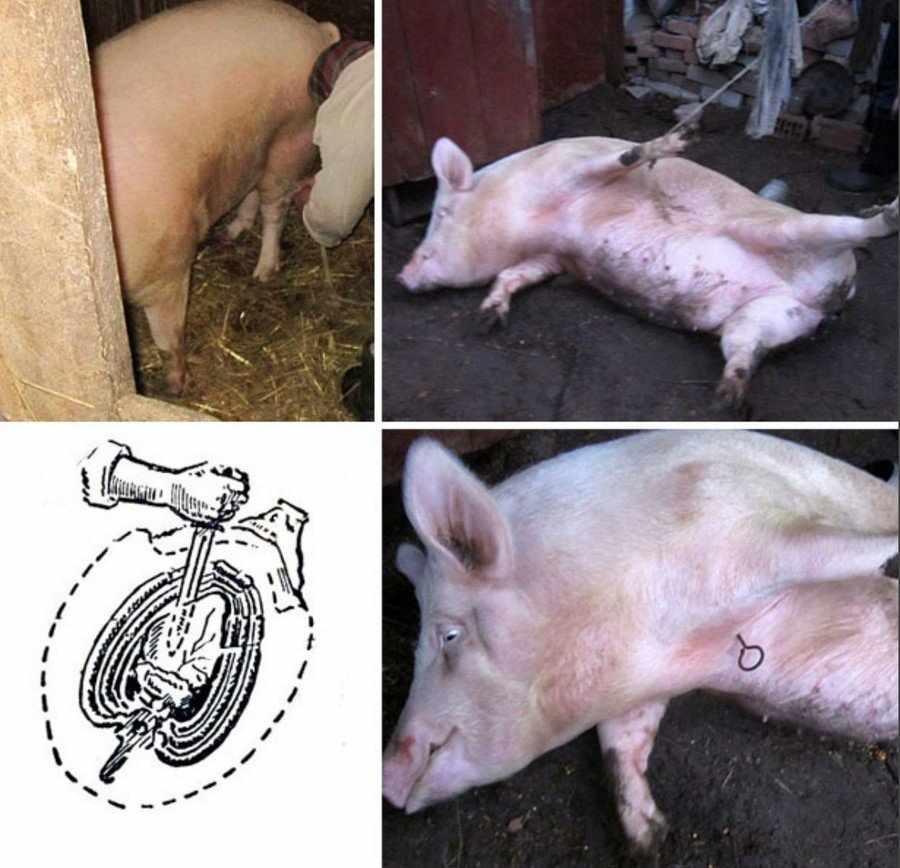 Забой свиней в сердце