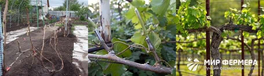 Обрезка молодого винограда