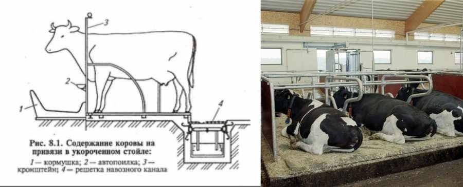 Как содержать корову зимой