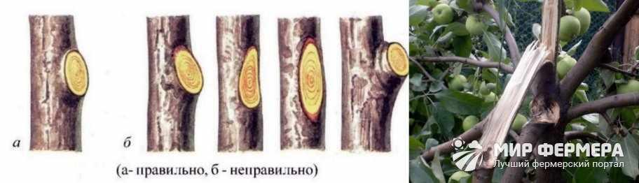 Неправильная обрезка яблони