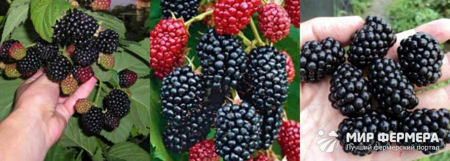 Ежевика Торнфри ягоды