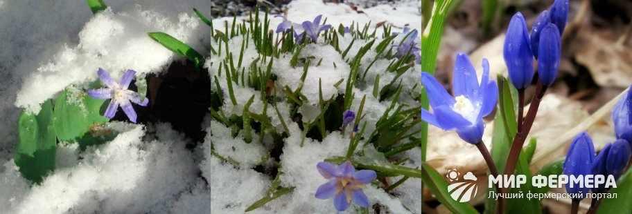 Зимовка хионодоксы