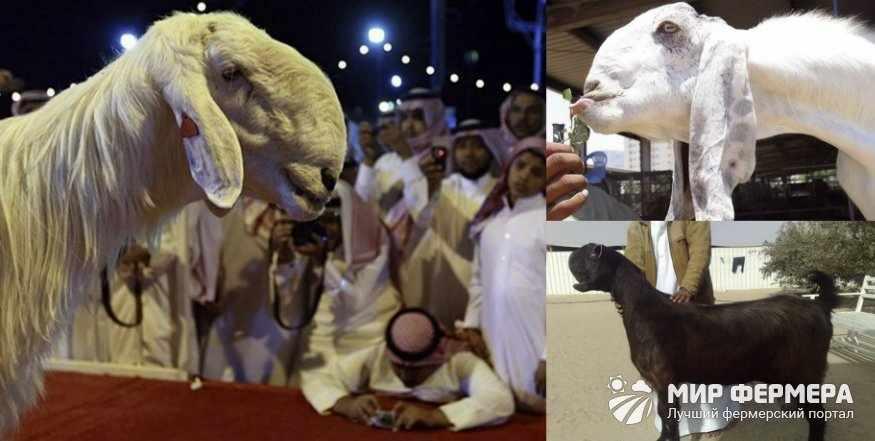 Дамасские козы фото