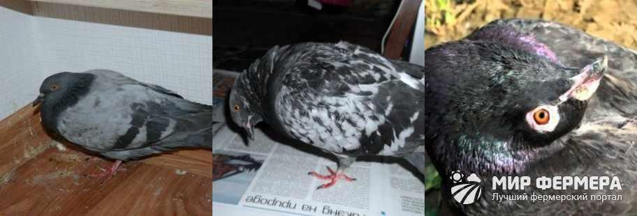 Вертячка у голубей симптомы