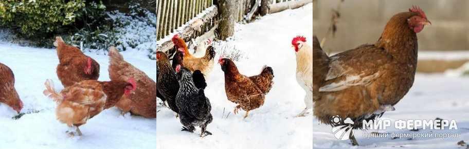 Куры на выгуле зимой