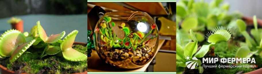 Как поливать венерину мухоловку
