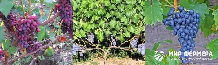 Виноград Юпитер фото
