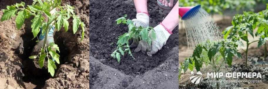 Когда сажать помидоры на Урале и в Сибири