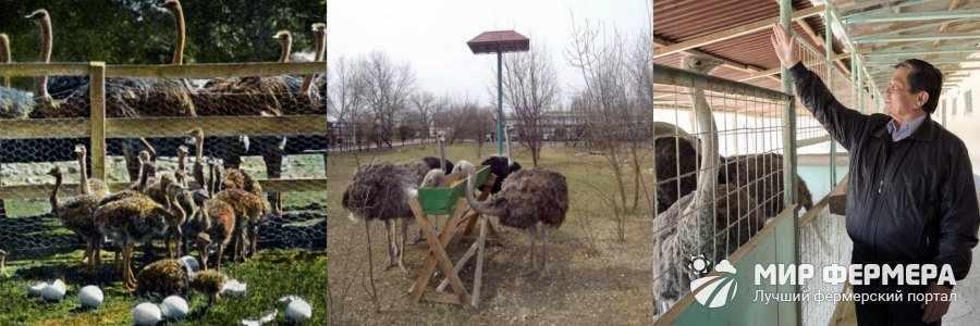 Профилактика болезней у страусов