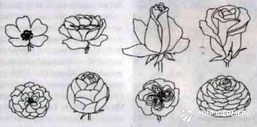 Какие соцветия бывают у роз