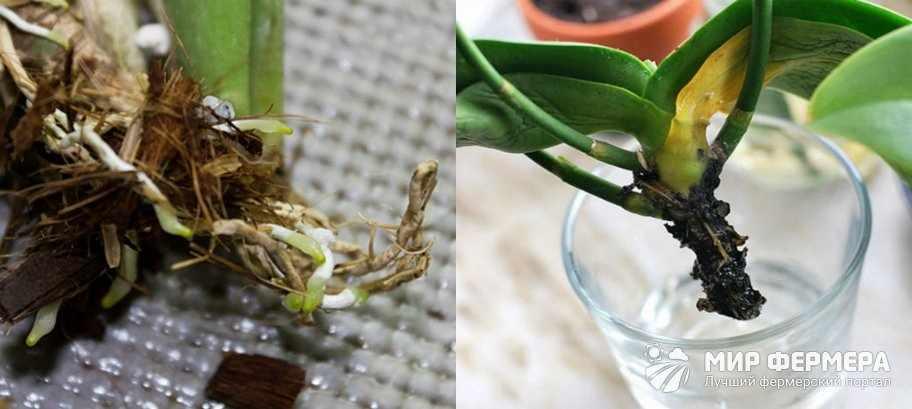 Как спасти орхидею дома