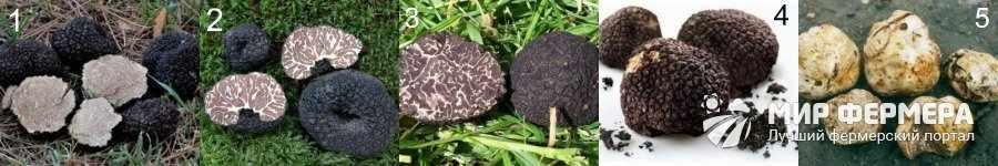 Виды трюфельных грибов с фото и описанием