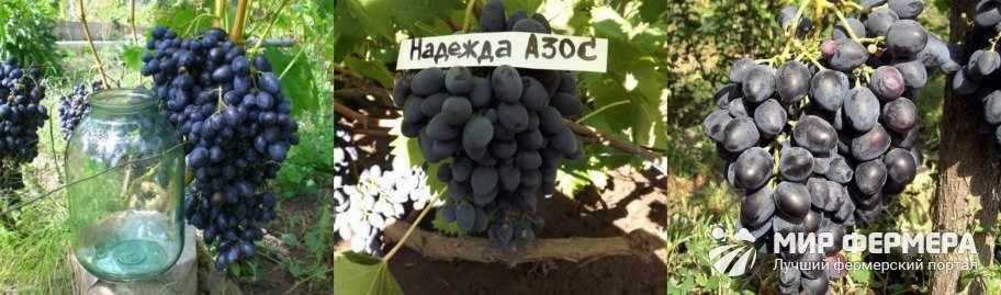 Виноград Надежда Азос плюсы и минусы