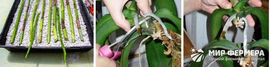 Размножение Дендробиума