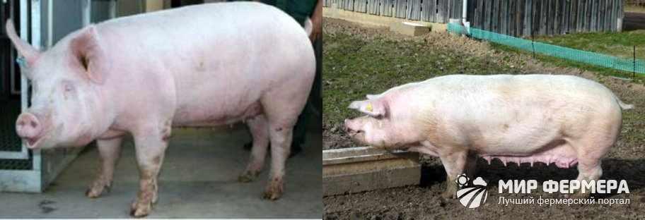 Как выглядят свиньи ландрас