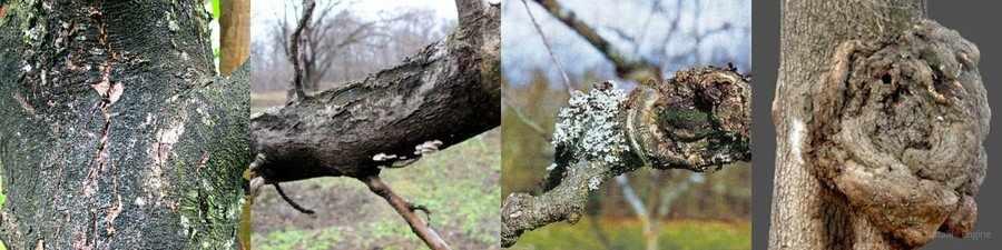 Бактериальный рак деревьев