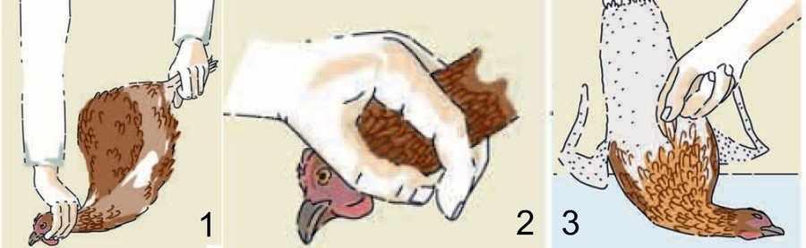 Забой кур в домашних условиях