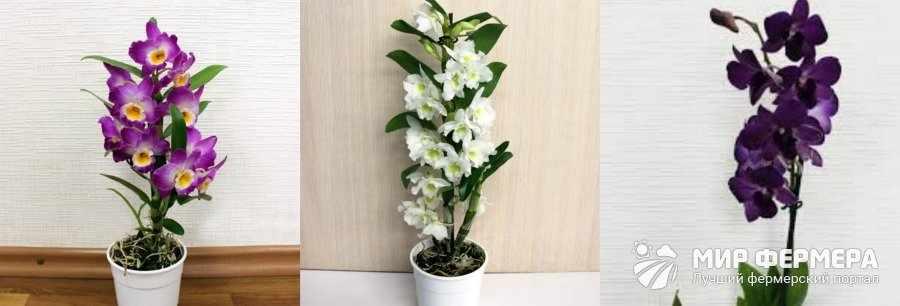 Как выглядит орхидея Дендробиум