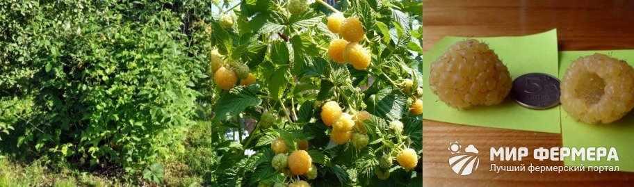 Сорт малины Желтый Гигант