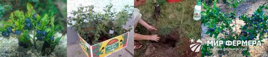Как посадить лесную чернику