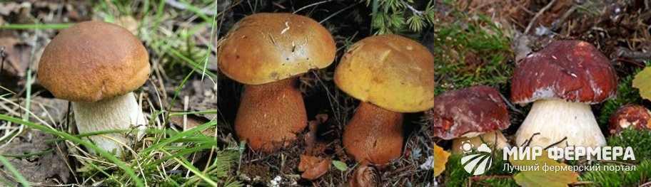 Съедобный белый гриб