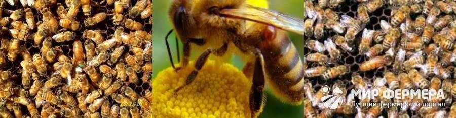 Итальянские пчелы разведение