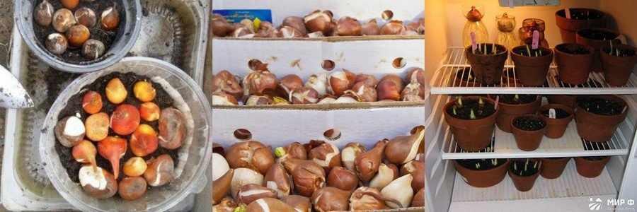 Хранение луковиц нарциссов в холодильнике
