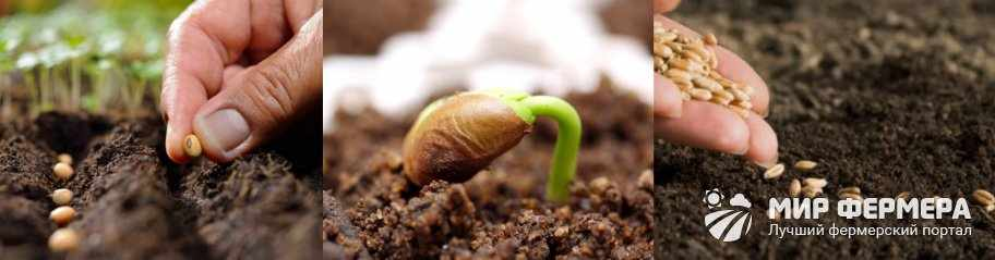Посев стратифицированных семян
