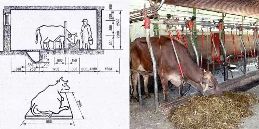 Уход за коровой зимой