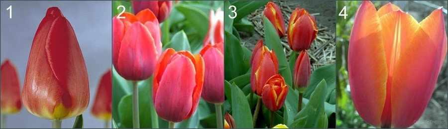 Тюльпаны для выгонки к 8 марта