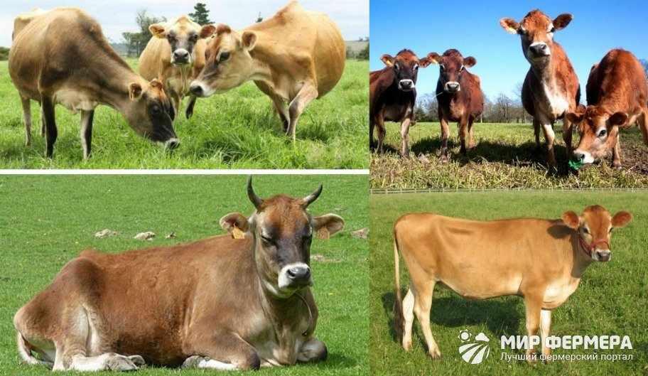 Джерсейская корова экстерьер