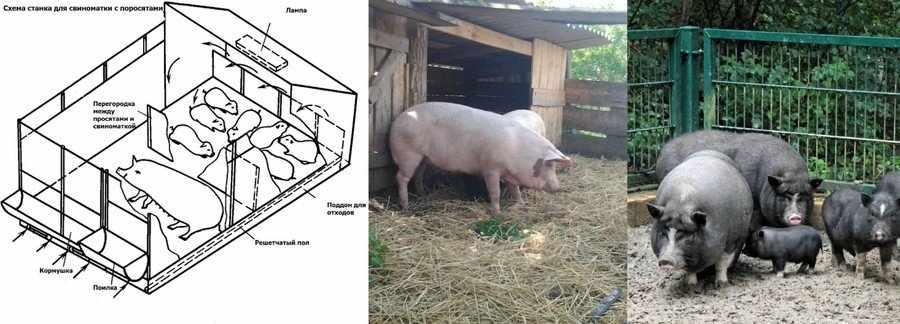 Содержание свиноматок