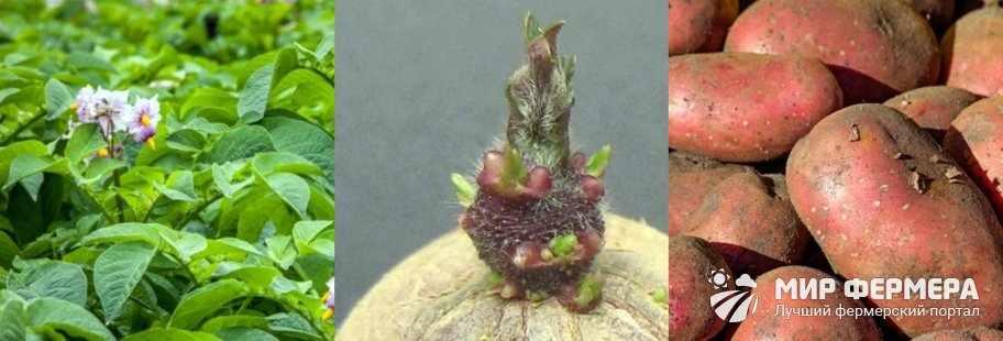 Описание сорта картошки Ред Скарлет
