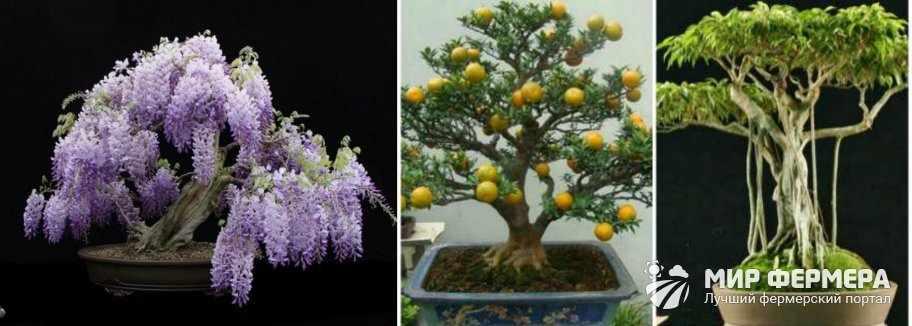 Как цветет бонсай