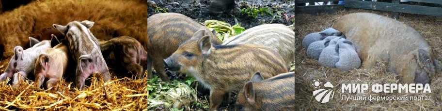 Свиньи Мангалицы разведение