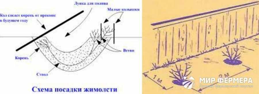 Выращивание жимолости на дачном участке