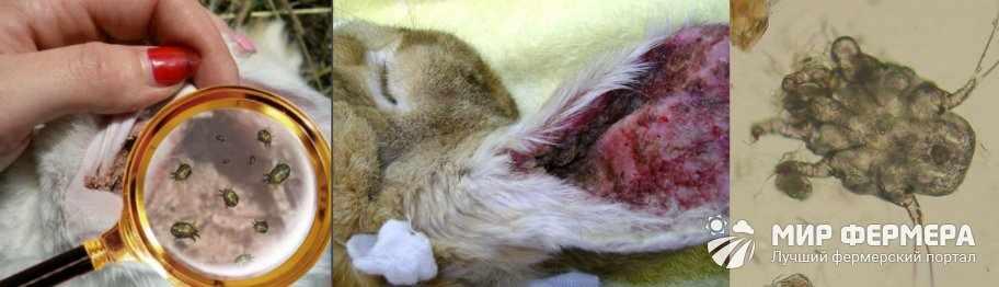 Ушной клещ у кроликов как выглядит