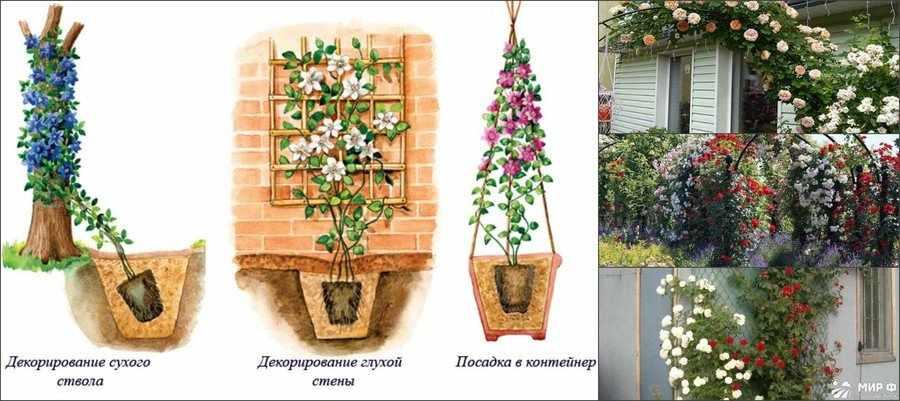 Плетистые розы - опоры