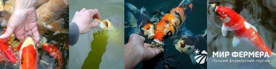 Питание рыбы в пруду