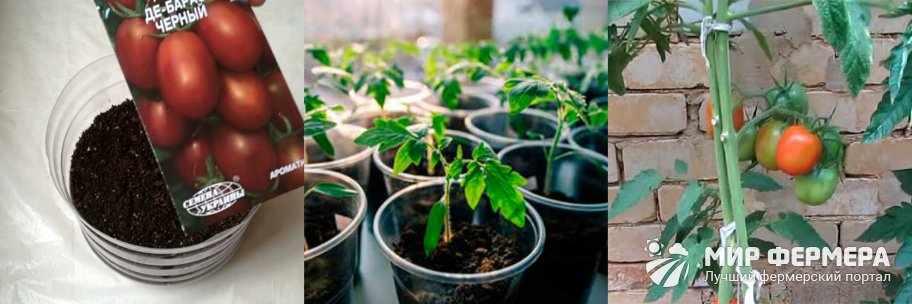 Выращивание томатов де Барао