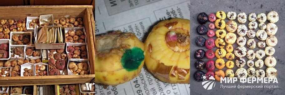 Где хранить луковицы гладиолусов